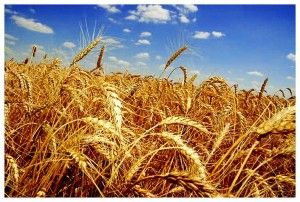 Nacionalni ekonomski značaj i biološke osobine ozime pšenice