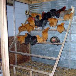 Насесты для кур: виды, требования к размерам и размещению, изготовление своими руками