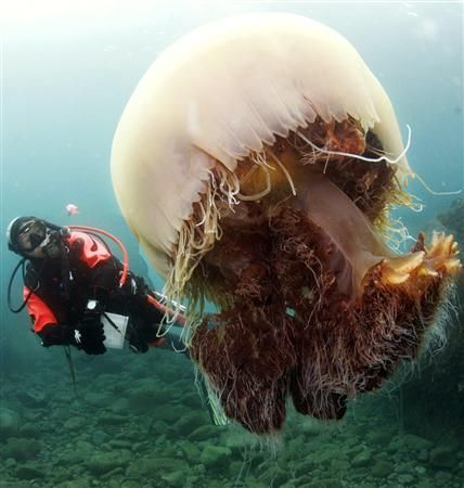 Medusa tip Nemopilema nomurai.