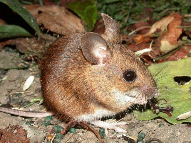 Нашествие лесных мышей в папуа-новой гвинее