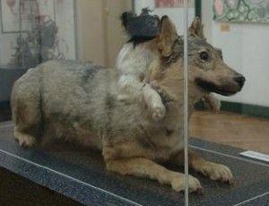 Собака Демихова в латышском музее