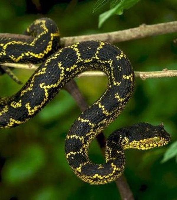 Prethodno nepoznate boje roga zmija pronađena u Tanzaniji