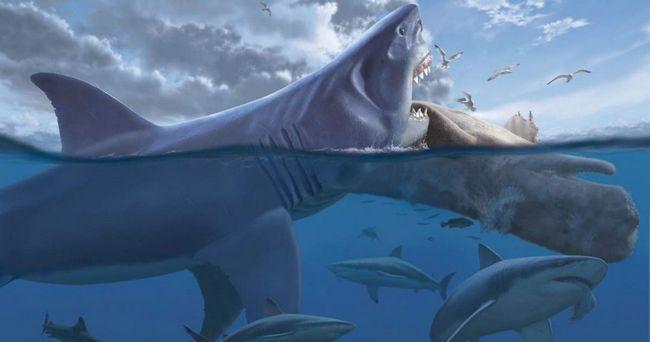Доисторическая акула мегалодон имела уникальные зубы.