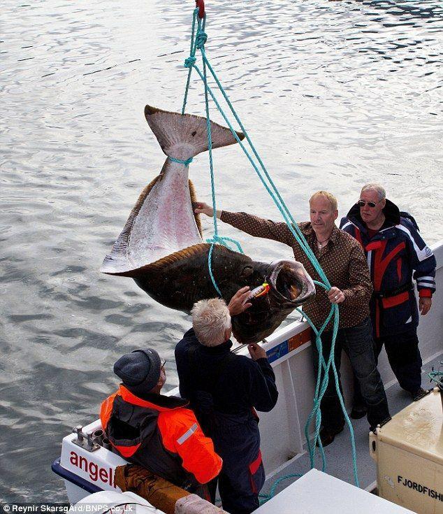 Halibut - gledaju ribe grabljivice odreda list koji imaju važne komercijalne vrijednosti.