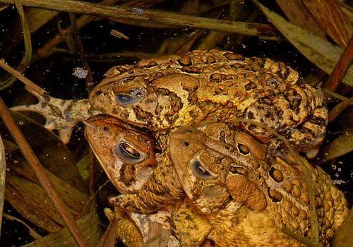 žaba krastača