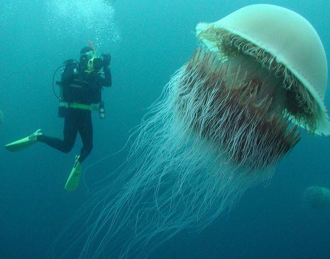 Medusa Nemopilema ogroman u odnosu na ronioca.