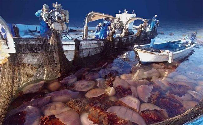 Ponekad ribarske mreže uhvaćen bez ribe, a cijeli horde meduza Nemopilem.