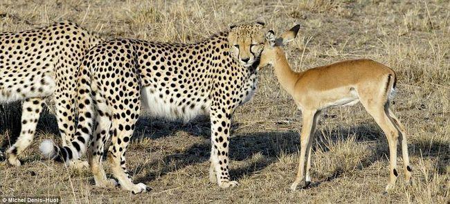 Neobvyklý příběh tří gepardy a molodoyantilopy