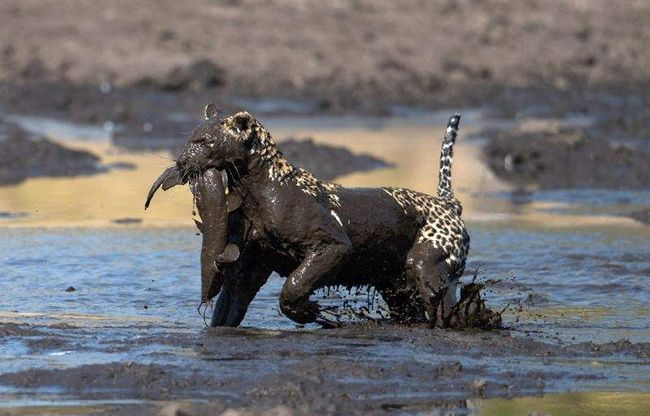 Леопард тащит добычу на берег.
