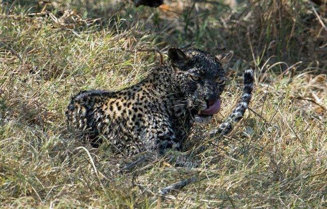 Славное пиршество устроил себе леопард! Что называется: не зря испачкался!