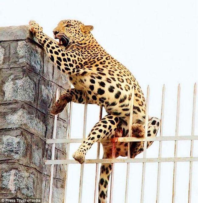 В индии спасли самку леопарда застрявшую на металлической ограде
