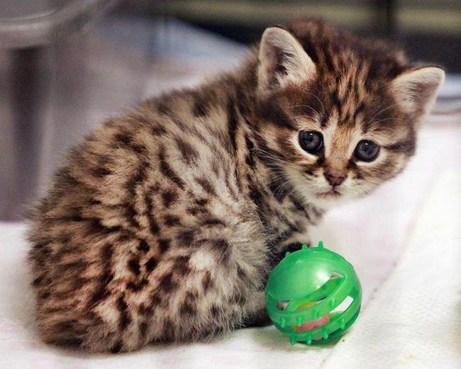 V domácích koček narodila koťata vzácných druhů