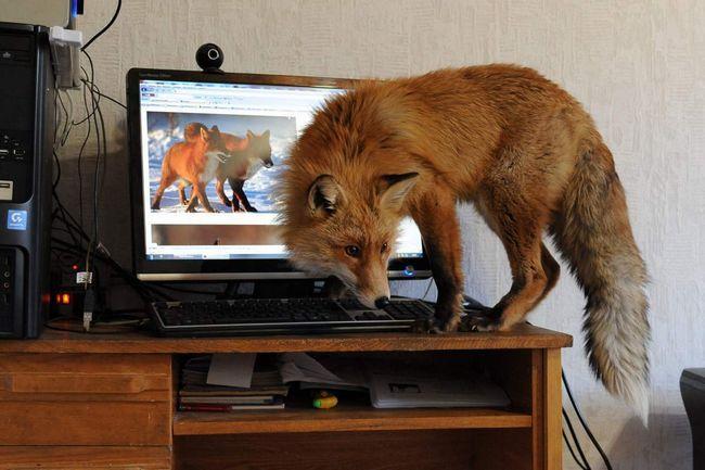 Red Fox: kako varati u ljudskim životima stanova bez lov zečeve - je misterija.