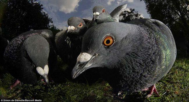 Golubove. golubovi
