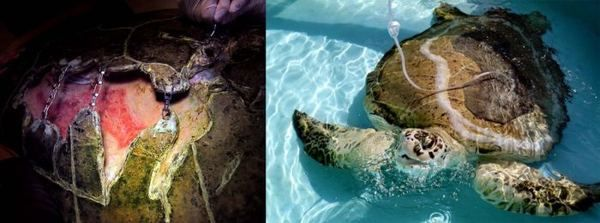 Попавшую под винт катера большую морскую черепаху спасли ветеринары
