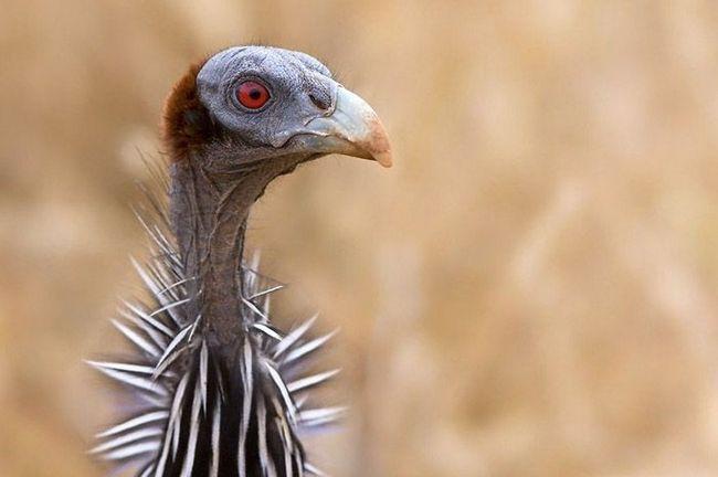 Glava biserka vrat gola i bez nakupljanje, ali vrat je uokviren ogrlicu kratkih perja.