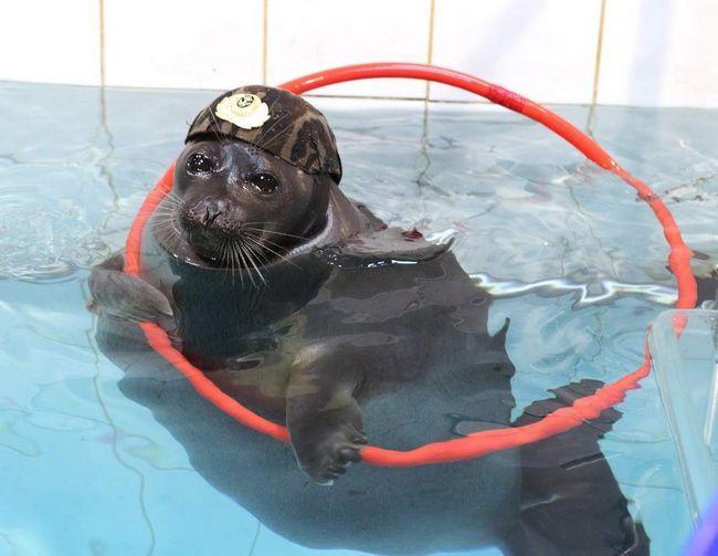 Seal bolje od delfina usavršavati.