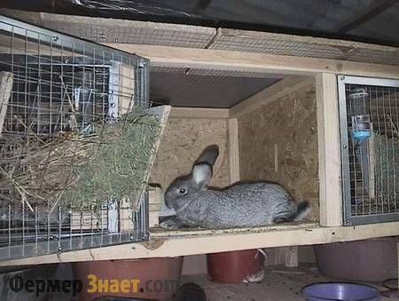 Rabbit mănâncă din jgheabul