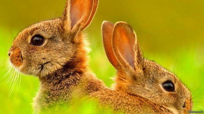 Вся правдо о кроликах