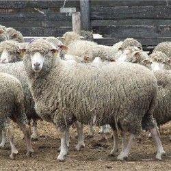 Незаразные болезни овец