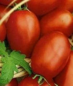 paradajz Baskakov