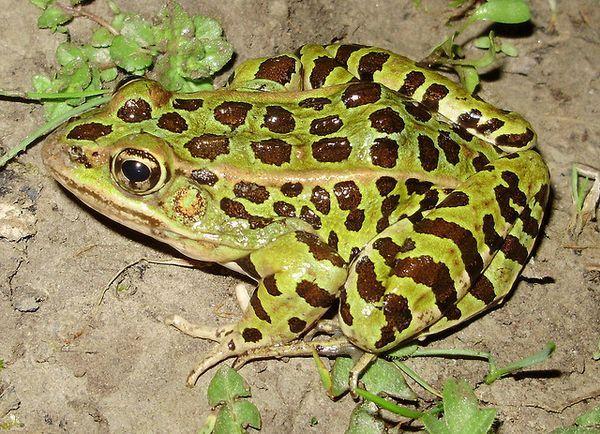 leopard žaba