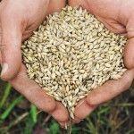 Sjetvu ozime pšenice
