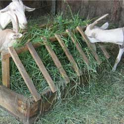 Нормы и рацион кормления коз в домашних условиях