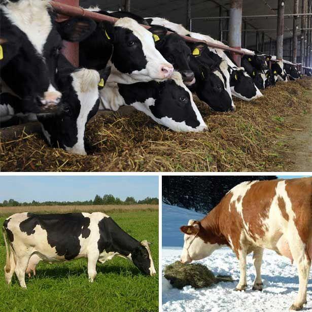 Сезонное кормление коров