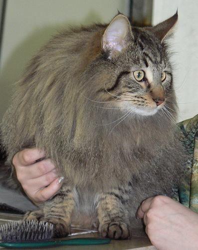 Норвежская лесная кошка (Norw. Forest Cat), порода полудлинношерстных кошек.