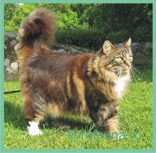 Norvezhskayalesnaya cat