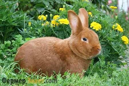 Новозеландский кролик – лучший выбор заводчика