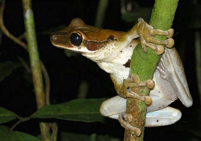 Новые животные амазонии