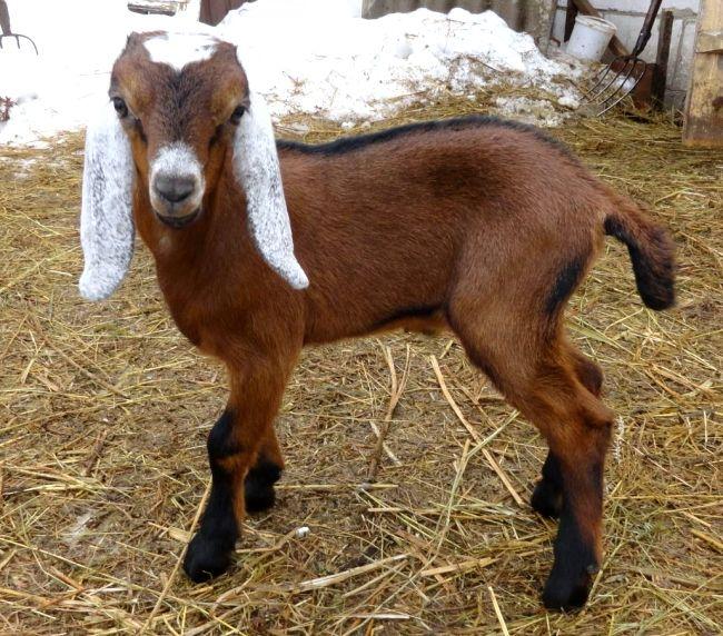 Anglo-nubijski koze
