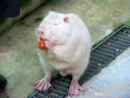 Nutrija velike pasmine