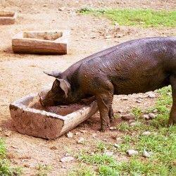 О кормлении свиней