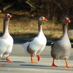 О породах гусей