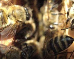 Kombinirajući pčelinjih društava video