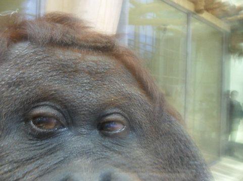 A ženski orangutan Noni iz Beča zoo snima slike,
