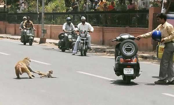 Opice ukázal hrdinství, záchranu kongener