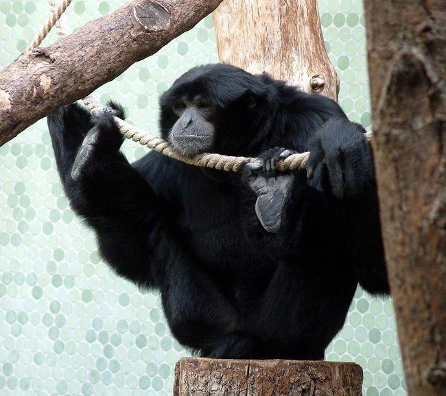 Сиаманги живут до 33 лет.