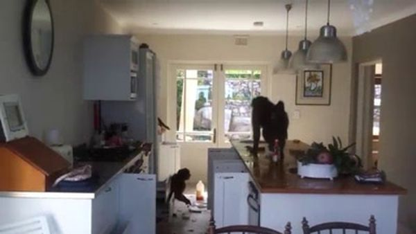 Majmuni organizovali pogrom u kući (Foto: YouTube)