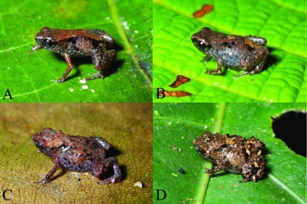 Žabe vrsta Paedophryne: (A, B) Paedophryne DEKOT, (C, D) P. verrucosa (foto Fred Kraus).