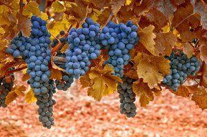 Vine u jesen