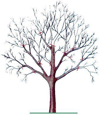 Обрезка яблонь плодоносящих и старых (омоложение)
