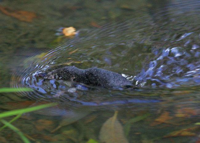 Обыкновенная кутора, или водяная землеройка (лат. Neomys fodiens)