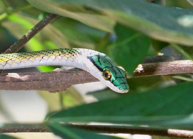 Papoušek had - had snášení vajec.