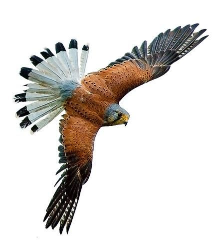 Обыкновенная пустельга (falco tinnunculus)