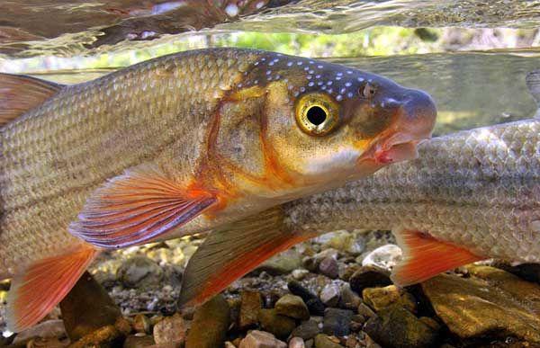 Common Nase fotografija