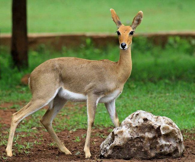 Это животное изящного сложения, с высокими ногами и пушистым хвостом.